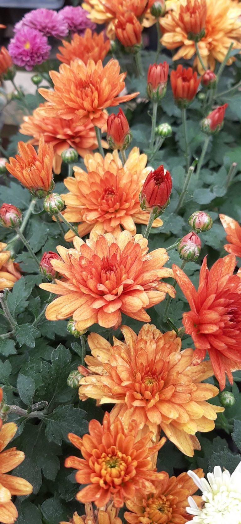 02 Mini Crisantemo